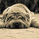 a tired, wrinkly dog